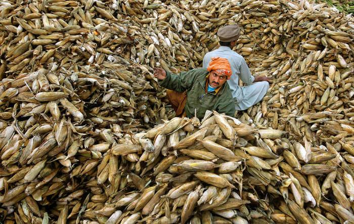 Пакистанские мужчины сортируют кукурузу на рынке в Лахоре.