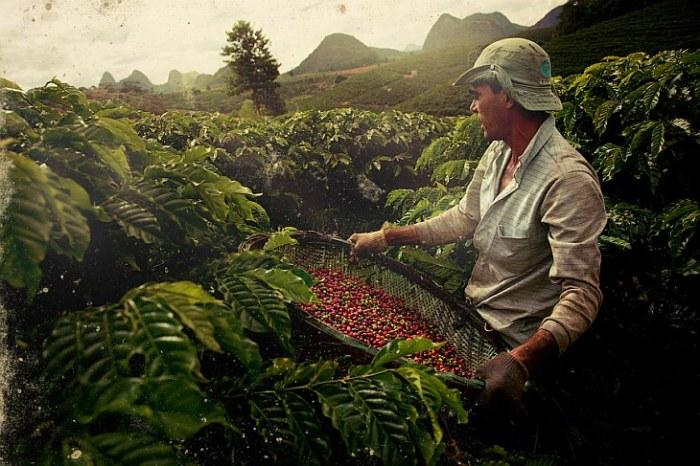 Кофейные плантации в Бразилии.