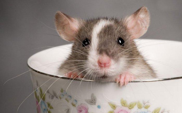 Всемирный день крысы.