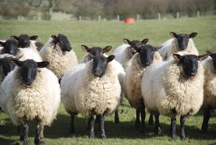 Овцы в Ирландии популярны и сегодня.