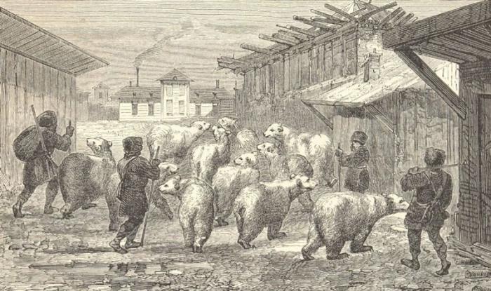 Пастухи гонят стадо медведей.