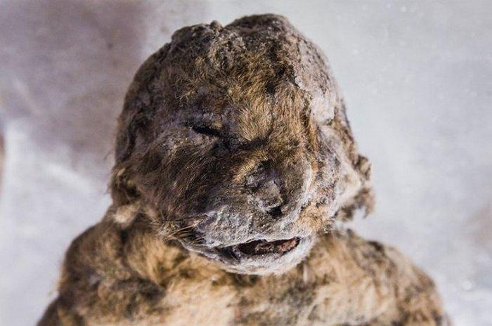 Львёнок, умерший 57 тысяч лет тому назад.