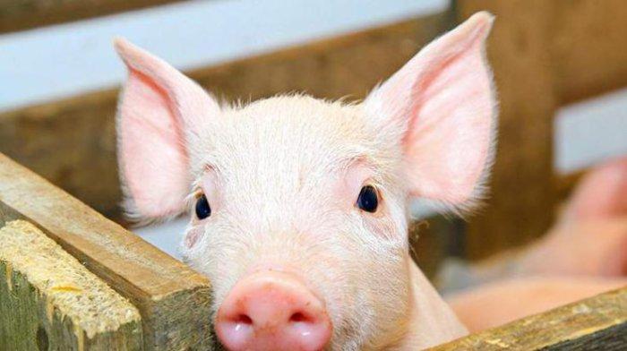 Свинарник как отхожее место для людей.