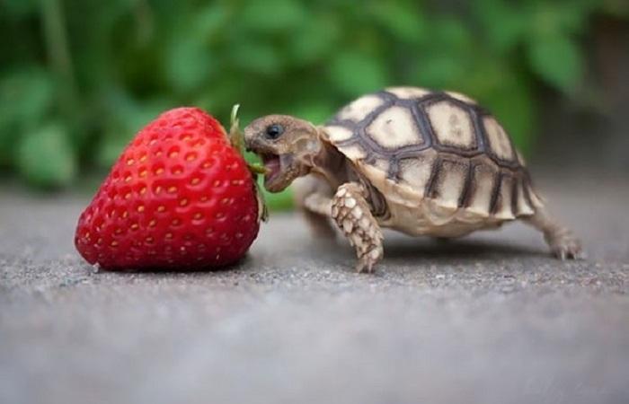 Забавные животные, которые обожают клубнику.