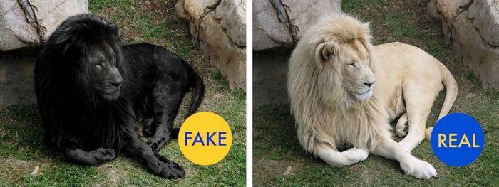 Невероятно редкий черный лев.