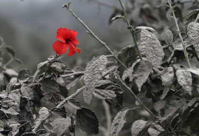 Цветок гибискуса.