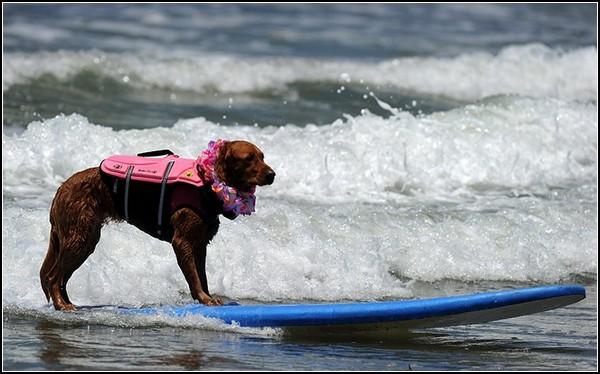 Спортивные собаки на гребне волны: состязание по серфингу среди четвероногих