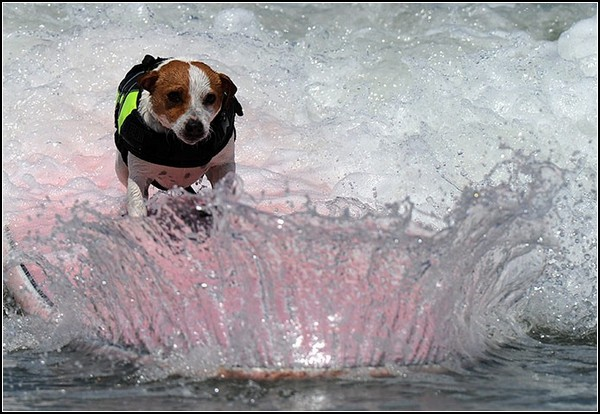 Спортивные собаки на гребне волны: маленький, но храбрый песик