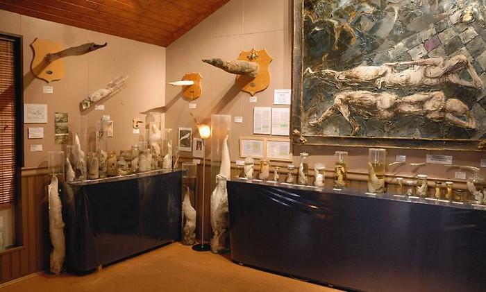 Коллекция членов животных исландского фаллологического музея