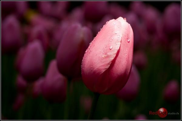 Праздник тюльпанов в Морже