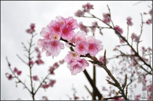 Сакура в цвету - символ Японии