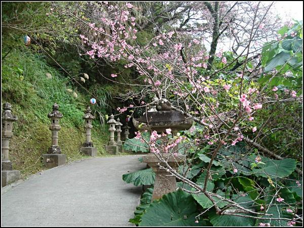 Сакуры в цвету с Окинавы
