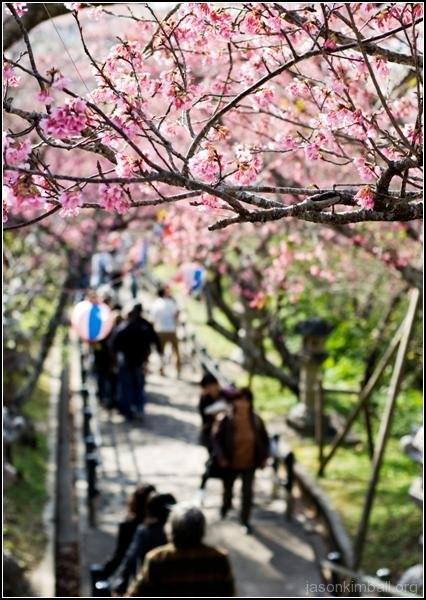 Фестиваль зимней вишни в Наго