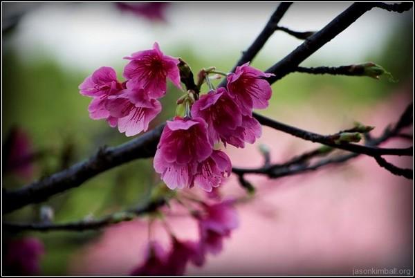 Сакура в цвету из Наго