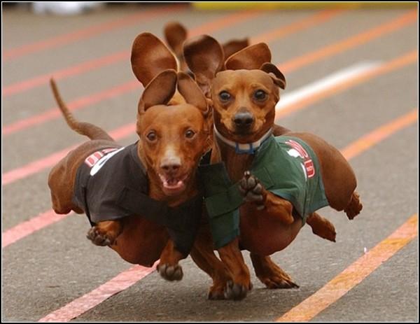 Собачьи бега в Сан-Диего: соревнование собак-сосисок