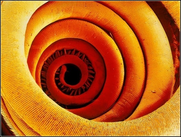 Картинки из микроскопа: хоботок моли