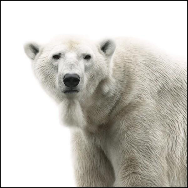 Лица животных. Белый медведь в понедельник