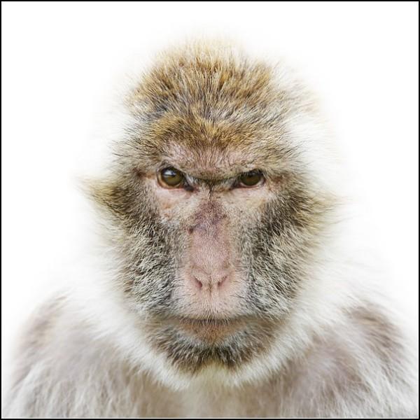 Лица животных. Обезьяна-рецидивист