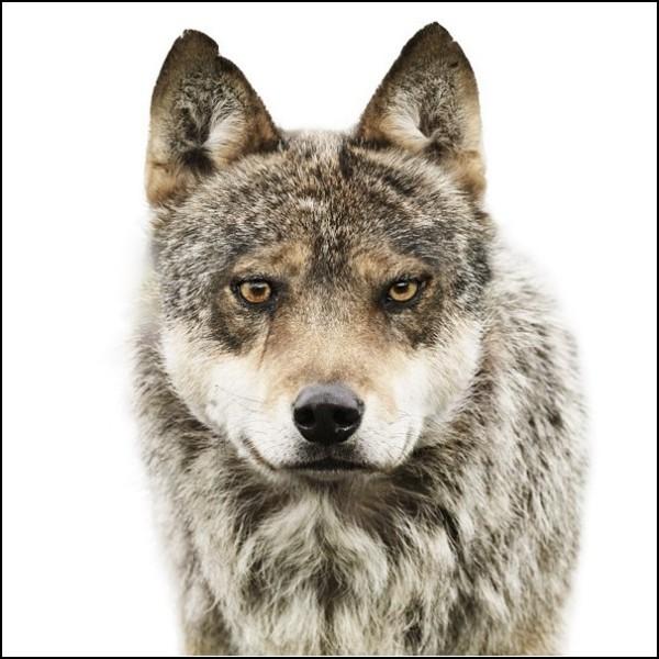Лица животных. Невыспавшийся волк