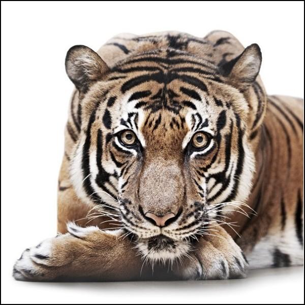 Лица животных меланхоличный тигр