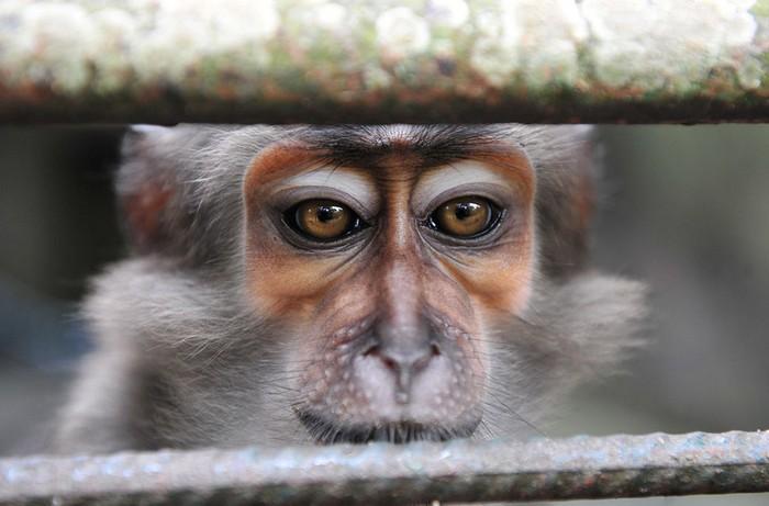Животные в новостях: абиджанская обезьяна