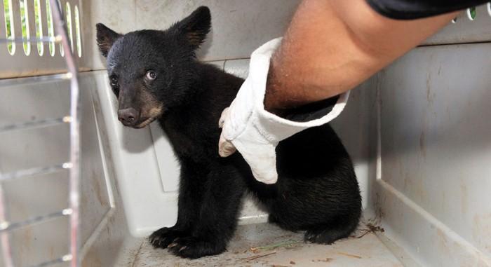 Животные в новостях: американский медвежонок
