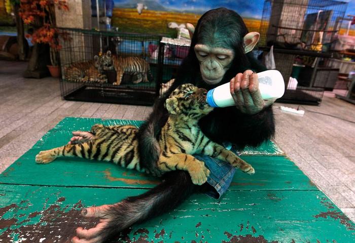 Животные в новостях: тайские обезьяна и тигренок