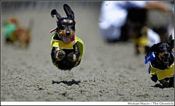 Собачьи бега в Сан-Диего: чемпионат мира среди такс