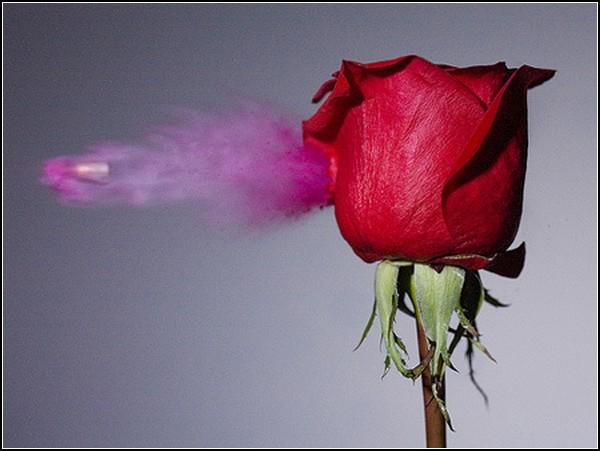 Пуля-дура: роза под обстрелом