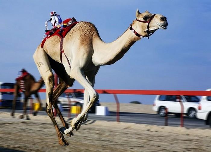 Верблюжьи бега выигрывают роботы