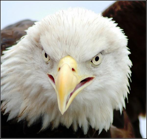 Белоголовый орлан собственной персоной