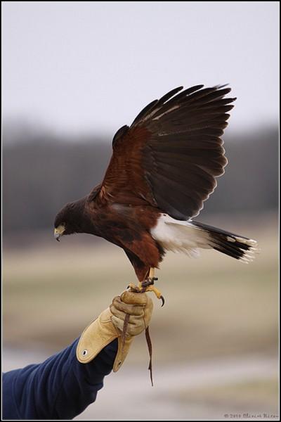 Белоголовый орлан и все-все-все: ручной хищник