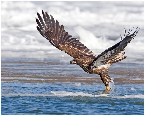 Белоголовый орлан и все-все-все: Орлиный фестиваль