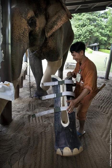 Протез для тайского слона