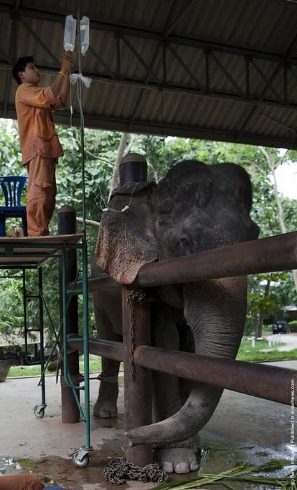Тайский слон под капельницей