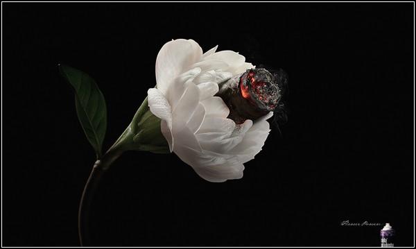 Реклама и цветы: жасмин с ароматом сигары