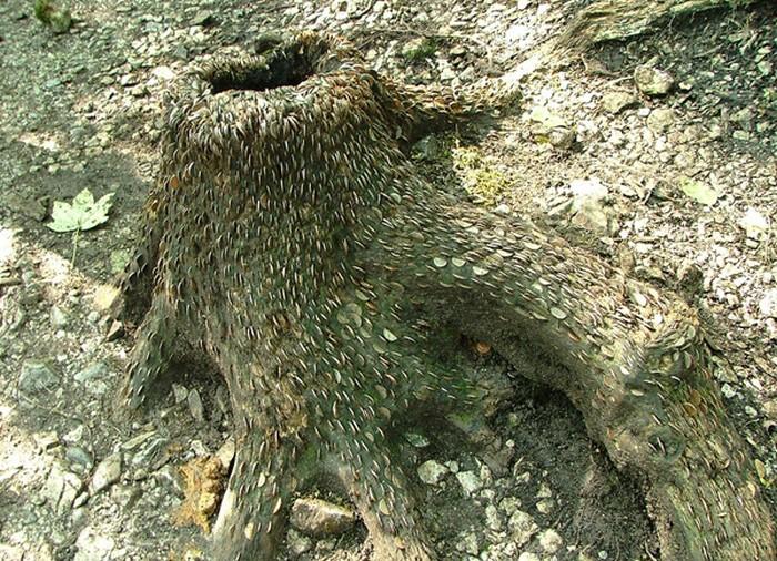 Английское растение денежное дерево