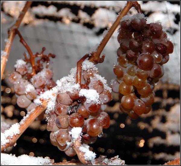 Гроздь ледяного винограда