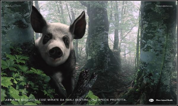 Панда, затаившаяся в рекламе: борьба за здоровье свиней