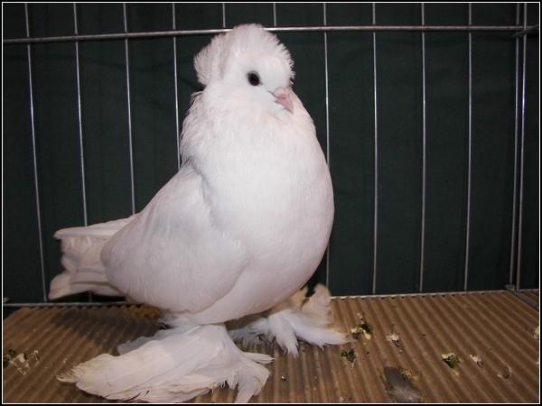 Выставка голубей-2011: чемпион