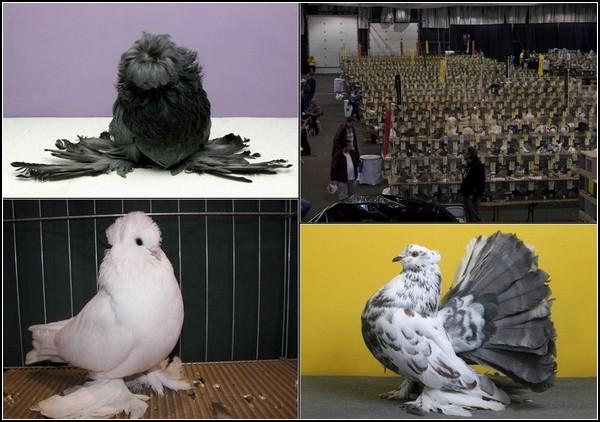 Большая выставка голубей-2011 в Сан-Диего