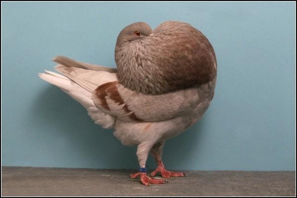 Большая выставка голубей-2011: участники