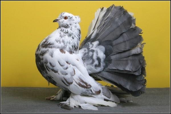 Выставка голубей-2011 в США: участники