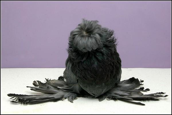 Выставка голубей-2011 в США
