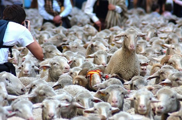 Овцы перестали быть покорным стадом