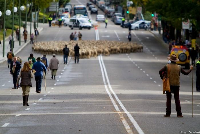 Дорогу овцам! Акция протеста в Мадриде