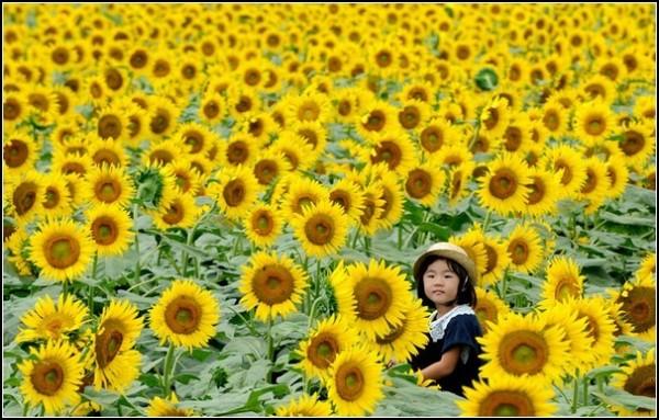 Летние фестивали-2011: подсолнухи в Токио