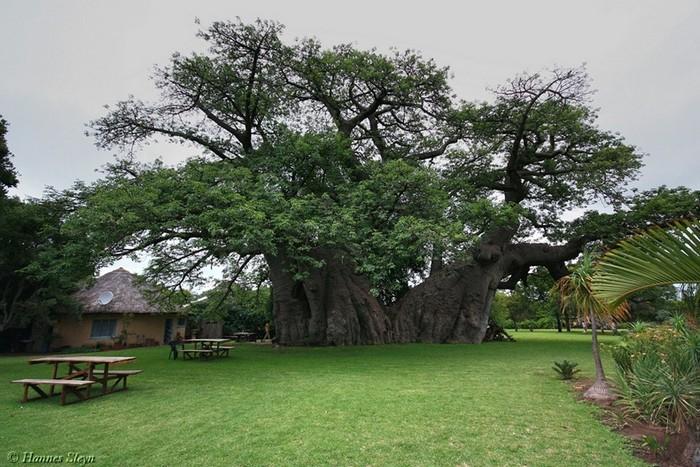 Огромный баобаб - дерево-паб