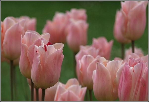 Розовые тюльпаны из Моржа
