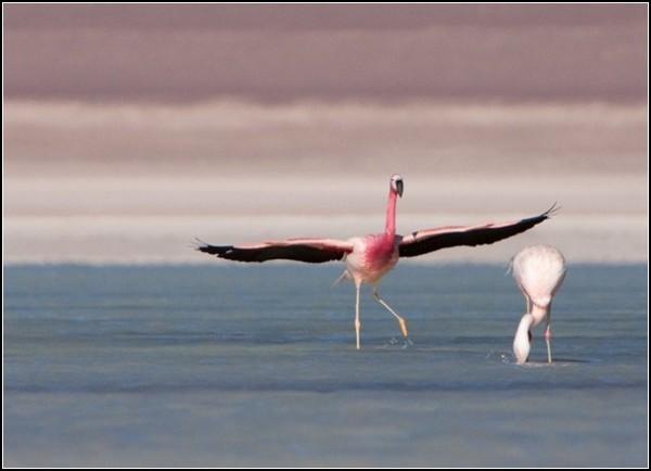 Фламинго на солончаке Уюни